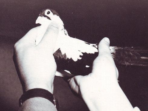 Porumbel gălățean